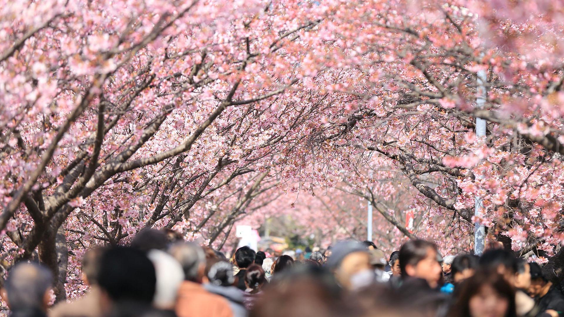 tagai prolece u japanu sakura